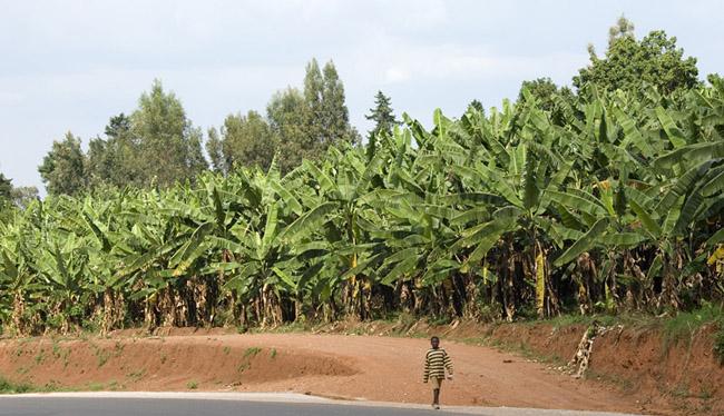 Boy and banana grove. 09-26-07