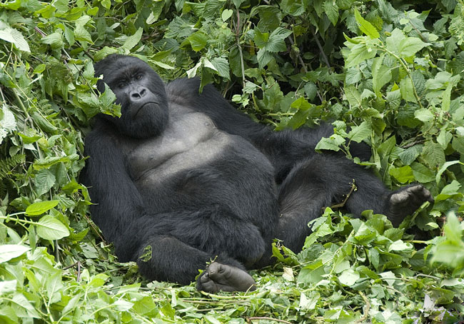 Gorilla photo #3. 10-07-07