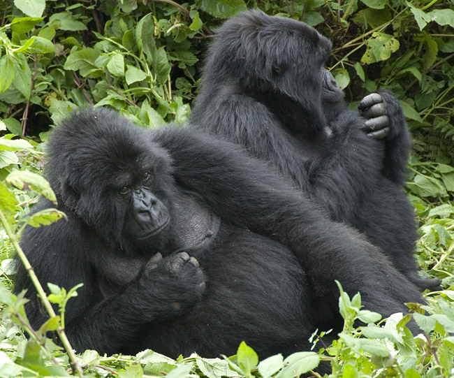 Gorilla photo #6. 10-07-07
