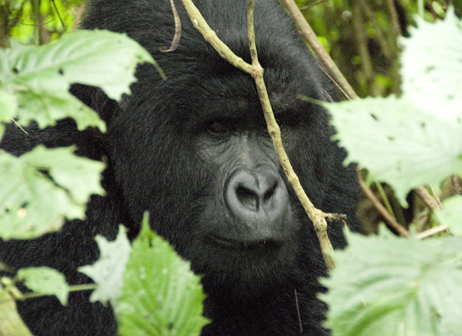Gorilla photo #12. 10-07-07