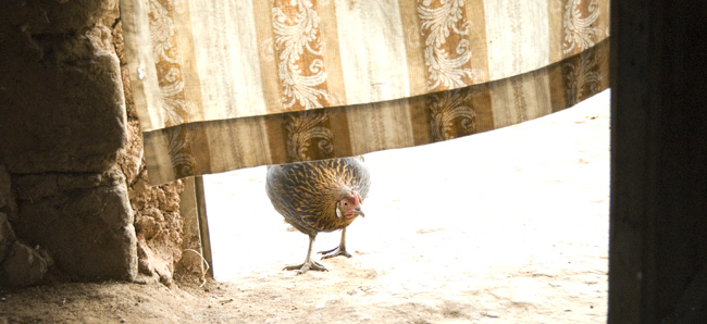 Chicken at door. 10-01-07