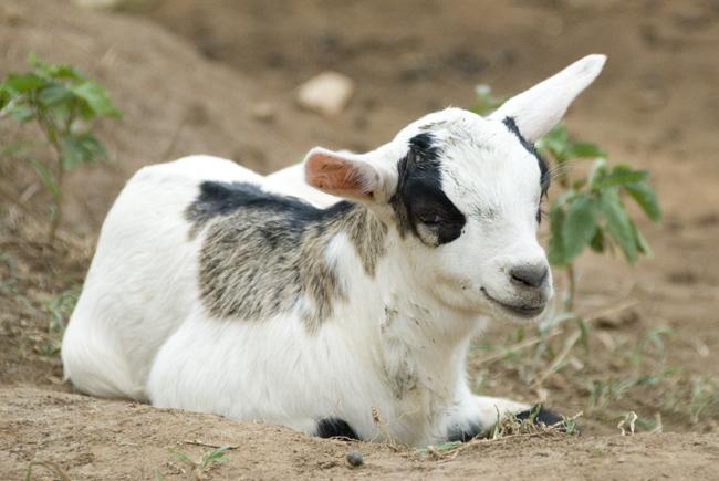Bingo the goat. 10-02-07