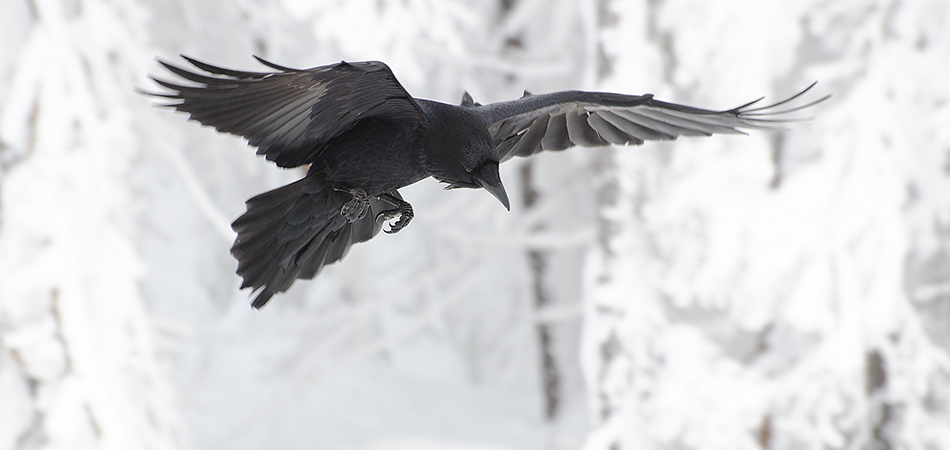 Ravens at Timberline, Mount Hood, Oregon, 02-21-2014